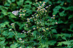 White butterfly with black markings Royalty Free Stock Photos