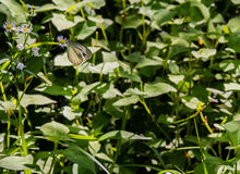 White butterfly with black markings Stock Images