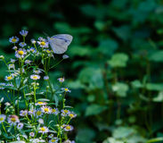 White butterfly with black markings Royalty Free Stock Photo