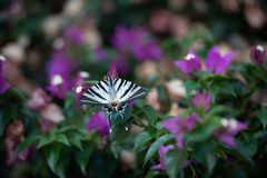 White butterfly with black stripes on green background with purple flowers stock image