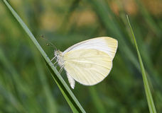 White butterfly on blade Stock Photography