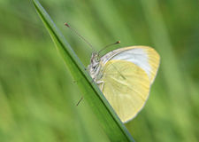 White butterfly on blade Stock Photo