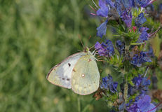 White butterfly on blue flower Royalty Free Stock Photography