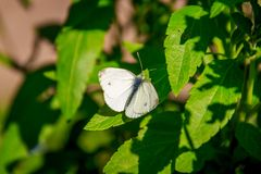 White butterfly. Butterfly cabbage soup. Beautiful insect. The butterfly sits