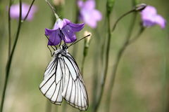 White Butterfly. On Campanula flower Stock Images