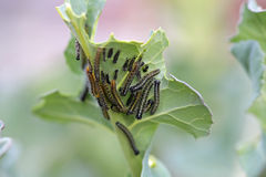 White Butterfly Caterpillars Royalty Free Stock Image