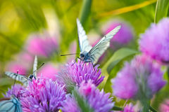 White butterfly on chive flowers royalty free stock images