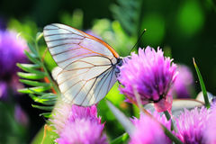 White butterfly on chive flowers Royalty Free Stock Image