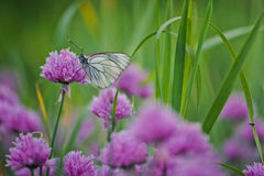 White butterfly on chive flowers Royalty Free Stock Photography