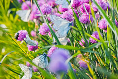 White butterfly on chive flowers Stock Image