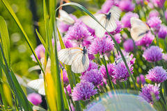 White butterfly on chive flowers Royalty Free Stock Photo