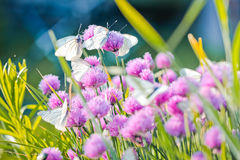 White butterfly on chive flowers Stock Images