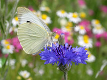 White butterfly on cornflower Royalty Free Stock Photos