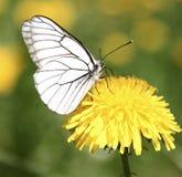 White Butterfly. On dandelion flower Stock Photos
