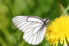White Butterfly. On dandelion flower Royalty Free Stock Images