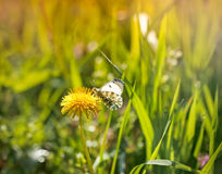 White butterfly on a dandelion Royalty Free Stock Images