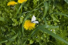 White butterfly on dandelion Royalty Free Stock Photos