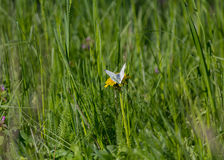 White butterfly on a dandelion Stock Photo