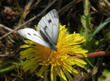 White butterfly on dandelion Stock Photo