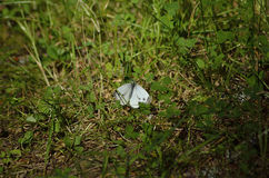 White butterfly. White day butterfly found in the Scandinavian wild nature stock image