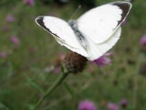 White butterfly, Downe House Royalty Free Stock Photos