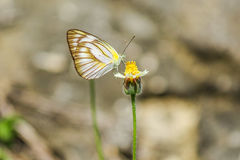 White butterfly. Butterfly eat nectar close up Royalty Free Stock Images