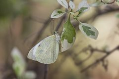 White butterfly,european Large Cabbage royalty free stock photo