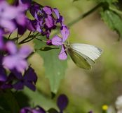 White butterfly eats nectar. White butterfly flies from flower to flower and eats sweet nectar Stock Photography