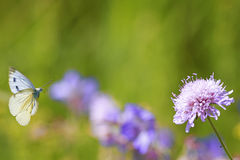 White butterfly flies to a lilac flower on a beautiful summer background Stock Photo