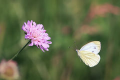 White butterfly flies to a lilac flower on a beautiful summer background Stock Image
