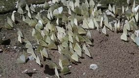 Butterfly. White butterfly on the floor Many butterflies flock together stock footage