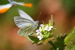 White Butterfly on a Flower. Close up of a white Butterfly on a Flower Stock Photo