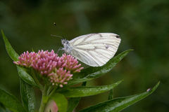 White butterfly on flower. White butterfly on pink flower Royalty Free Stock Photography