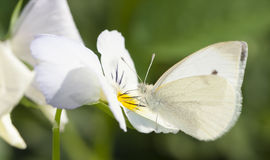 White butterfly on flower. White butterfly on a white flower blossom Royalty Free Stock Image