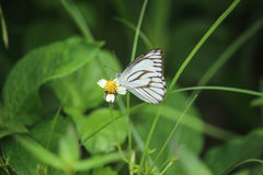 White butterfly on flower. In the garden Royalty Free Stock Photo