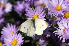 White butterfly on flower Royalty Free Stock Images