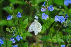 White butterfly on a flower. Russia stock photo