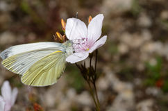 White butterfly on a flower Stock Photography
