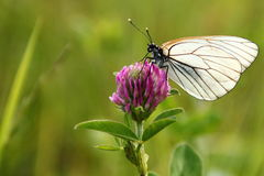 White Butterfly. On  flower of  Trifolium pratense on green background Stock Photo
