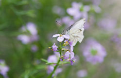 White butterfly on flower Stock Photography