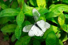 White butterfly on the flower. At the summer garden Royalty Free Stock Photography