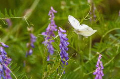 White butterfly flying to a lavender flowering plant. A white butterfly captured flying toward a lavender flowering plant in the midst of tall, green plants stock photo