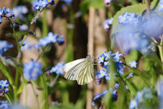 White butterfly on forget-me-nots. A white butterfly sipping nectar from a blue flower called a forget-me-not royalty free stock photos