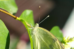 White butterfly in the garden Royalty Free Stock Photo