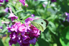 White butterfly in the garden. Close up Stock Photography