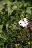 White butterfly in the garden Royalty Free Stock Image