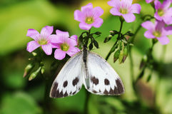 A white butterfly gather honey. From the flowers stock image