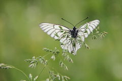 White Butterfly. On green background Royalty Free Stock Photography