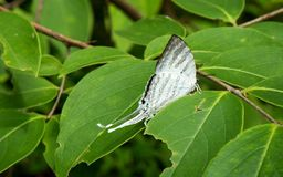 White butterfly and green leaf. Royalty Free Stock Image