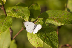 White butterfly on a green tree leaf Stock Image